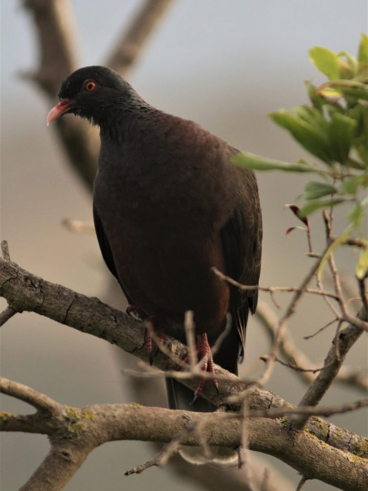 White tailed pigeon